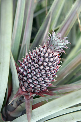 Bio-Anbau Ananas