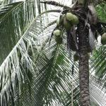 Bio-Ananas Bio-Kokosnuss 1