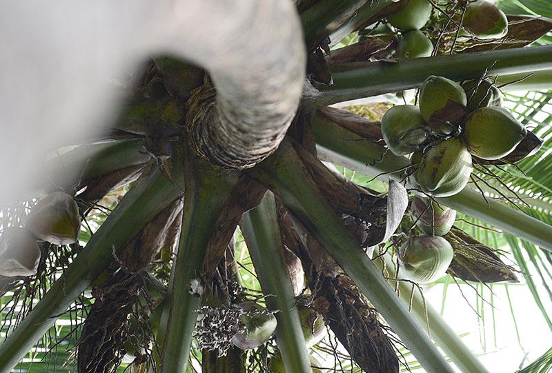 Bio-Anbau Kokosnuss_Plantage